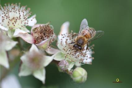 Abeille fruitier Plumalia