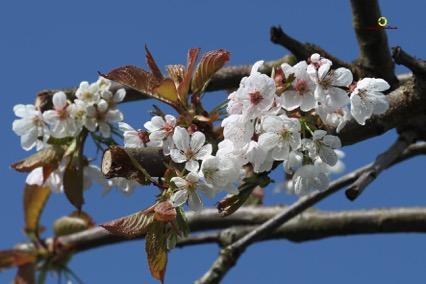 Cerisier fleur Plumalia