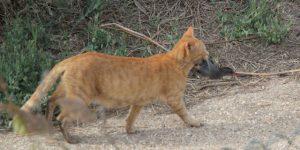 Chat avec râle Plumalia
