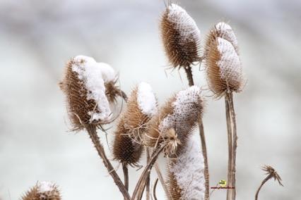 Cardère neige Plumalia