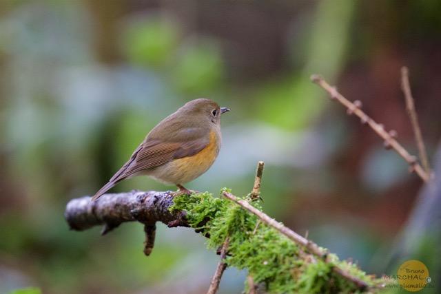 Robin 5 Plumalia